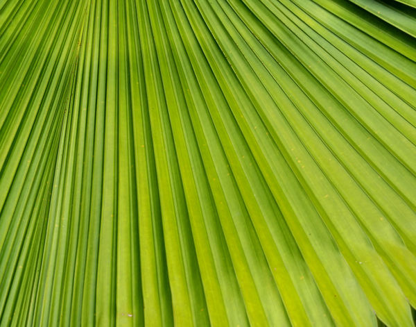 fan foliage2: fan palm leaf foliage