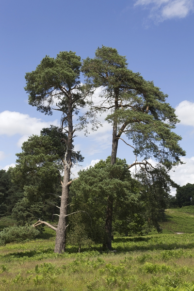 Tree: Scots pine (Pinus sylvestris) on heathland in West Sussex, England.