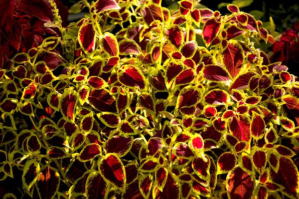 Stock de fotos gratis arbusto coleo crisderaud for Arboles para sombra de poca raiz