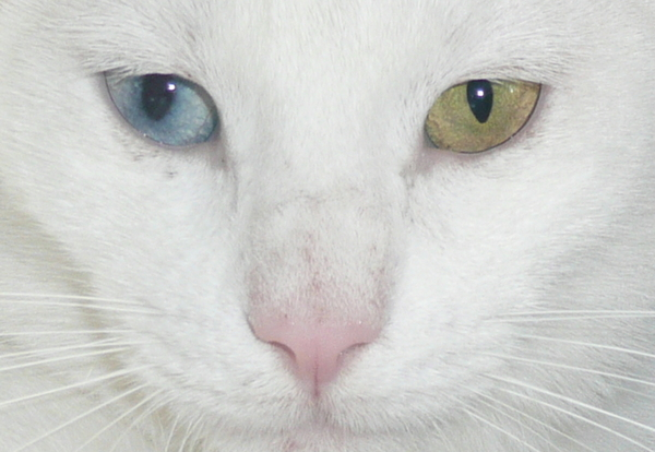 Different eyes: White cat with heterochromia