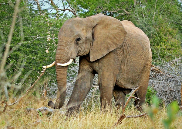 African Bush Elephant: African elephants are elephants of the genus Loxodonta. The genus consists of two extant species: the African bush elephant and the smaller African forest elephant.  (Wikipedia)