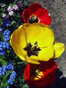 Tulips: Yellow, red and white tulips in full bloom, various arrangements. April.