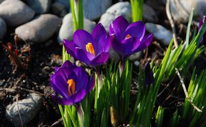 purple crocus: purple crocus