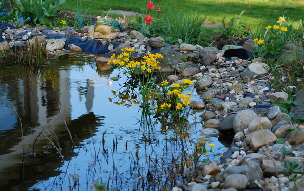 marsh marigolds: marsh marigolds