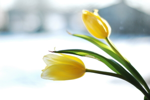yellow tulips: Yellow tulips against a wintry background.