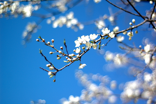 spring: Plum tree in bloom.