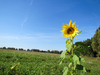 field with sunflower: field with sunflower