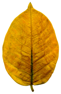 Yellow Leaf: An isolated leaf.