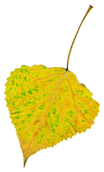 Leaf: An isolated fall leaf.