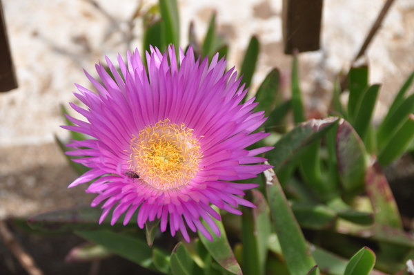 Hottentot fig 3: Carpobrutus acinaciformis at the Island Kefalonia, Greece