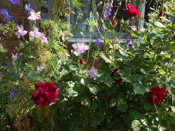 Roses and Larkspur: Roses and larkspur grow in my flowerbed in front of my home.