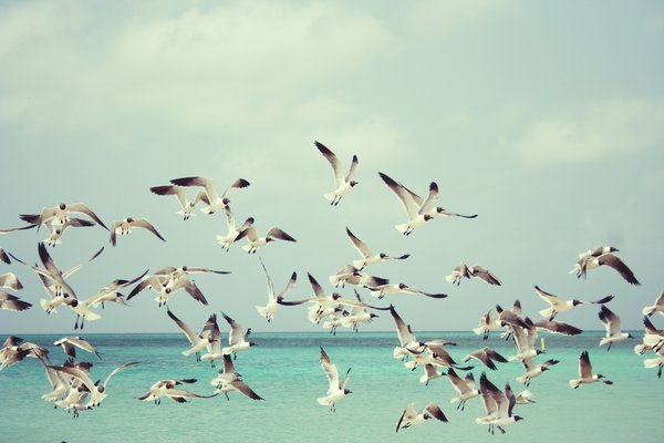 Seagulls: Seagulls in flight, summer on Aruba