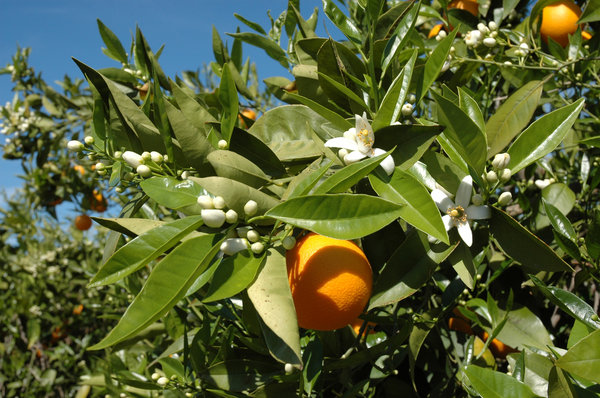 Orange tree: Orange tree with flowers