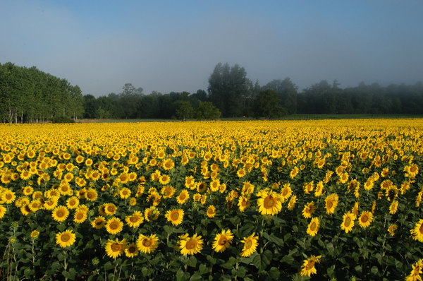 Sunflowers field: Sunflowers fieldHave a look at pic 396303