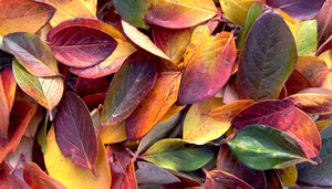 Fall Leaves: I have a hedge in my back yard that produces the most colorful leaves in the fall, so I had to take a picture of them before they turned brown.