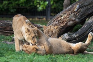 Lionesses playing and licking: Picture of 3 lionesses playing and licking in the zoo of Planckendael, Belgium.