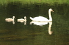 Swan and Cygnets: Swan and Cygnets