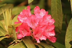 Rhodedendron: Rhodedendron bush in flower