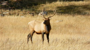 Elk: Some pictures of the elk in Rocky Mountain National Park, Colorado. 10-10-'10
