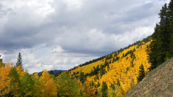 Aspen: The aspen leaves changing in Colorado.