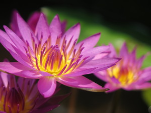 Water lily flowers: Purple water lily flower