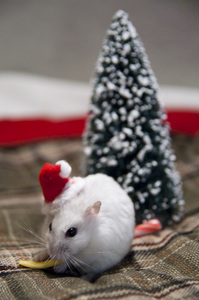Christmas Treat: Shallow focus of a Christmas hamster eating a piece of cheese with a Christmas tree in the background.