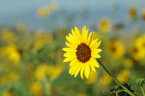 Sunflowers: Small sunflowers in field