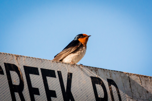 Swallow2: The Welcome Swallow is Australia's most widespread swallow. It the can be seen fluttering, swooping and gliding in search of flying insects in almost any habitat, between city buildings, over farmland paddocks, in deserts, wetlands, forests and grasslan