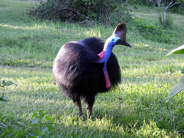 Cassowary 4: A female cassowary at a friend's place in Far North Queensland. Unfortunately the long grass hides her feet. The cassowary is a flightless bird about 1.75 m (5 feet) tall and lives mainly in the rainforests of tropical North Queensland, Australia. It is a