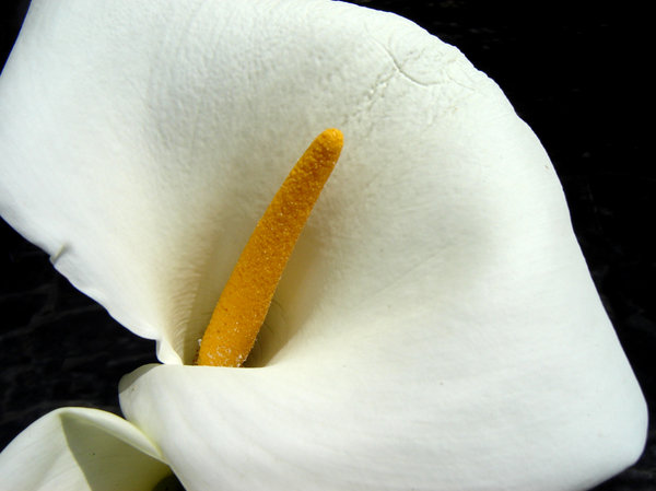 calla lily: a surprise in my garden