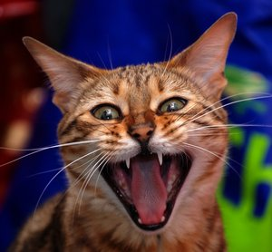 c a t: crazy cat yawn attack