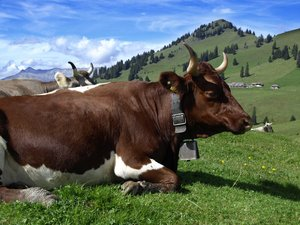 Cow: Swiss Cow