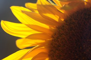 Sunflower2: Sunflower petals in the sun
