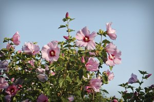 Rose of Sharon: Rose of Sharon in full bloom.