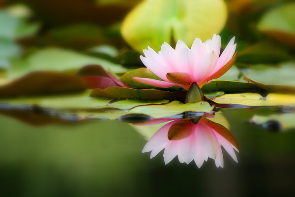 Water lily: Water lily
