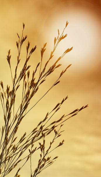 Autumn Gold: Grass in the early morning