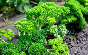 Parsley - vegetable garden: Parsley