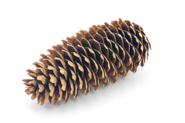 Strobile 2: Cone of spruce tree