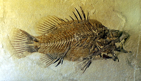 Fossil fish: Fossils are the preserved remains or traces of animals, plants, and other organisms from the remote past. The totality of fossils, both discovered and undiscovered, and their placement in fossiliferous (fossil-containing) rock formations and sedimentary l