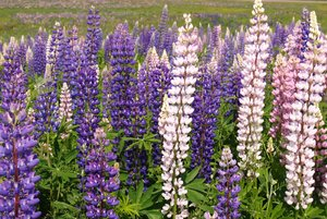 Lupins: a field of lupins in Moncton New Brunswick