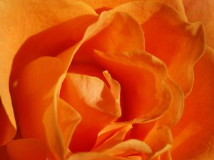 Rose, orange: Roses are the symbol of love; here in a delicate orange tone