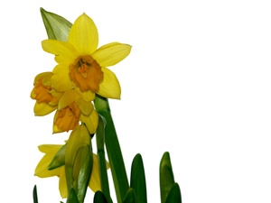 Easter daffodils isolated: Easter daffodils isolated with white background