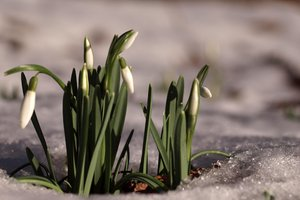 Snowdrop: A bunch of snnowdrops coming through the snow and ice