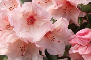 Pink Rhododendron: Pink Rhododendron flowers