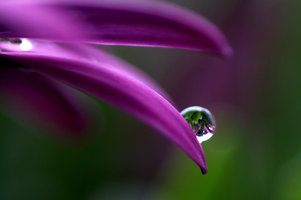 Raindrops on flower: Raindrops on a marguritte. The picture is macro.
