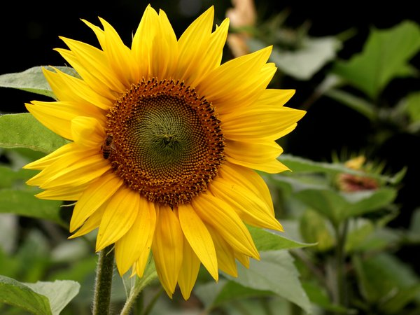 Sunflower: Sunflower in full blossom