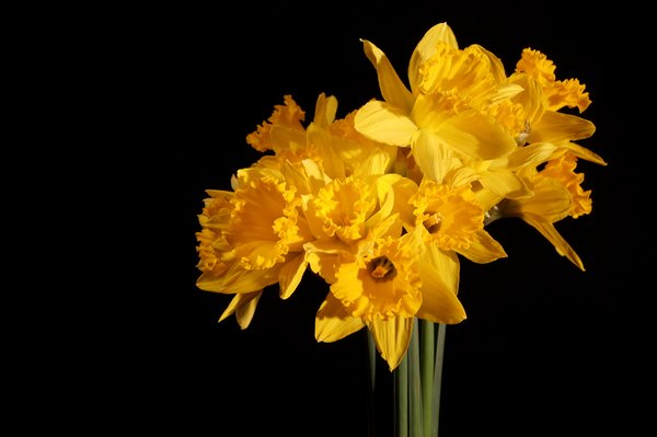 Bouquet of daffodils: Bouquet of daffodils isolated with black background.