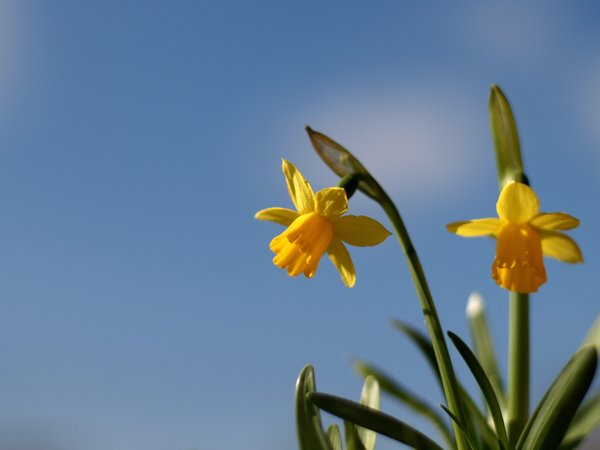 Daffodils with blue sky: Daffodils with blue sky