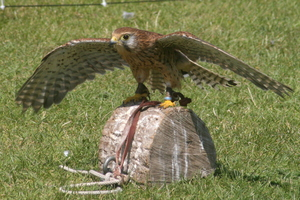 Kestrel: Kestrel poised for flight