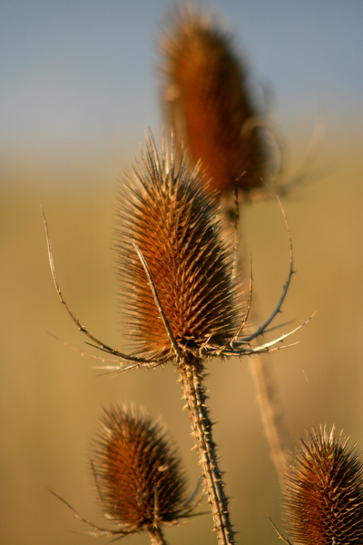 Thistle: Field thistle